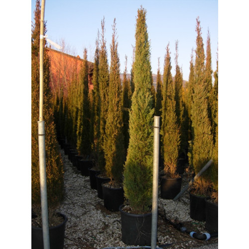 CUPRESSUS SEMPERVIRENS TOTEM TREE SIZE 5FT 6IN - 170CM - SOLD OUT - TAKING ORDERS FOR JUNE
