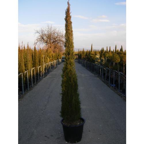 CUPRESSUS SEMPERVIRENS TOTEM TREE SIZE 7FT - 210CM
