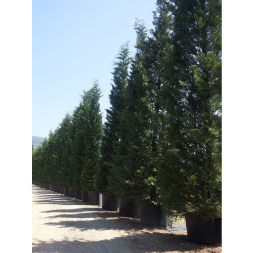 Leylandii Green MASSIVE 30ft/900cm in 500lt pots Plant Height does not include pot height