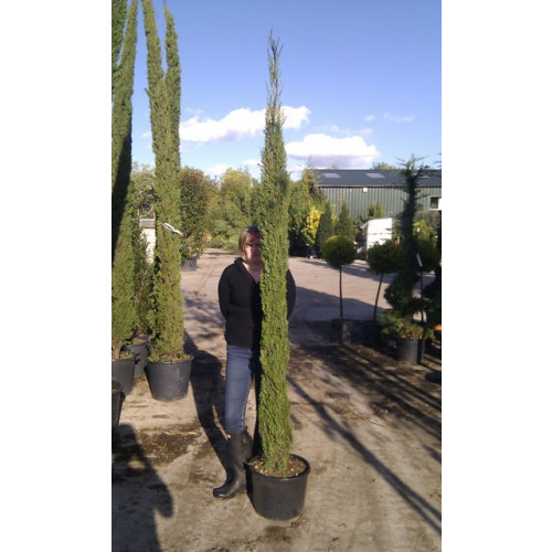 Italian Cypress (Cupressus Sempervirens Pyramidalis 7 - 8ft inc pot height