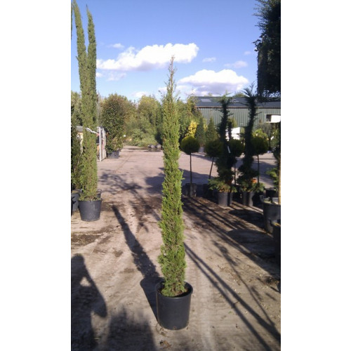 Italian Cypress (Cupressus Sempervirens Pyramidalis 5ft - 6ft inc pot height