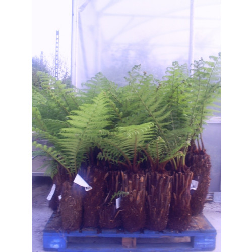 Tree Fern Dicksonia Antarctica 1ft - 30cm - SOLD OUT! TAKING ORDERS FOR AUGUST 2021