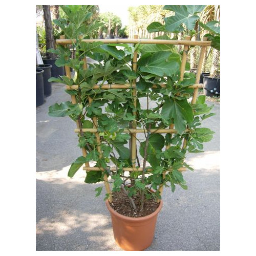 Fig on trellis (Ficus Carica) 4ft 6in high x 2ft 6in wide
