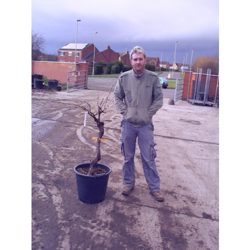 Grapevine (vitis vinefera) knarled trunk 4ft 6in including pot height
