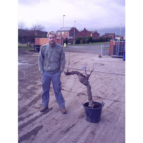 Grapevine (vitis vinefera) knarled trunk 130cm/4ft 3in including pot height (girth 50cm)