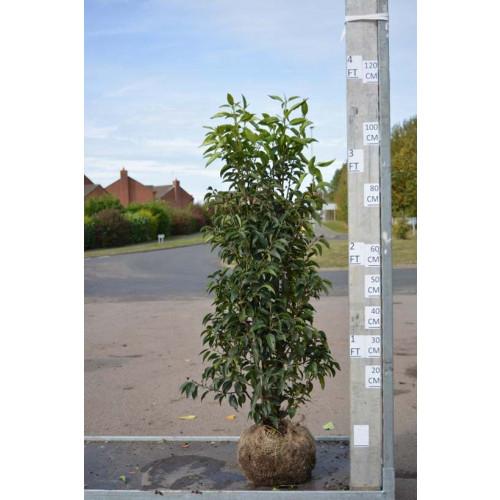 Hedging Prunus Lusitanica rootballed, 80-100cm