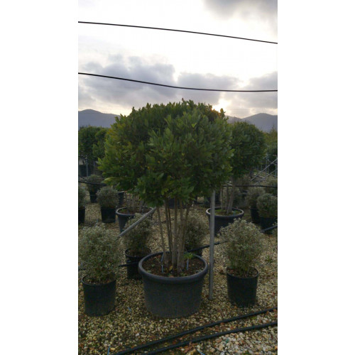 Multistem laurus nobilis (Bay Tree), 150/175cm excluding the pot, 90L container
