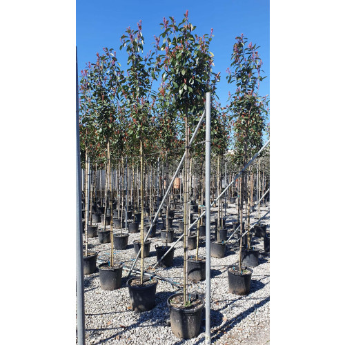 Photinia red robin 6/8cm girth, Approximately 8-9ft including pot height