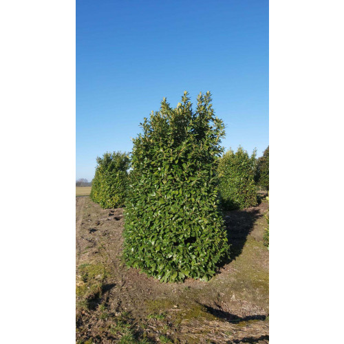 Massive Cherry Laurel, 3-3.5m high & 1.8 - 2m wide!  -AVAILABLE NOW