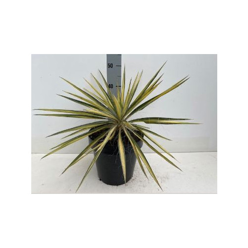 Yucca Jewel, 5L Container