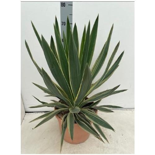 Yucca Gloriosa Variegata, 10L Container