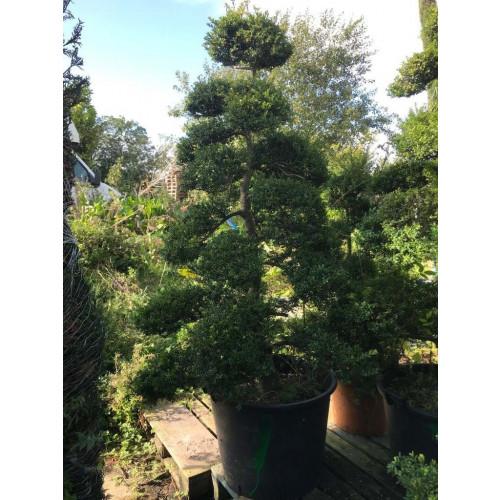 Cloud Tree Bonsai ilex Crenata Kimnei 235cm / 7ft 10in  including pot height - SECONDS (GREEN)