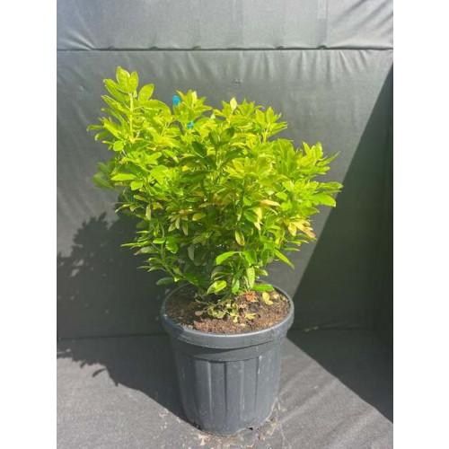 Choisya ternata 'Sundance'  50-60cm planted height  20 litre pot