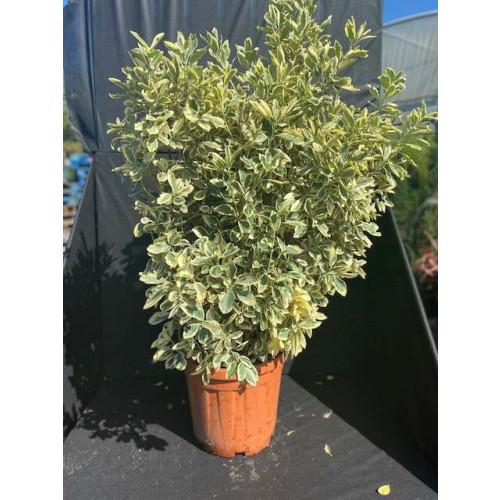Euonymus japonicus 'Aureus' 120-150cm planted height