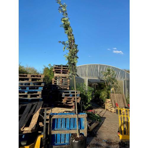 Sorbus Aucuparia ''Cardinal Red'' rowan mountain ash  10/12 girth 1.8meter clear stem 13 feet planted height