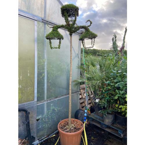 Ilex Crenata Topiary: Street Lamp 300cm/10ft tall including pot