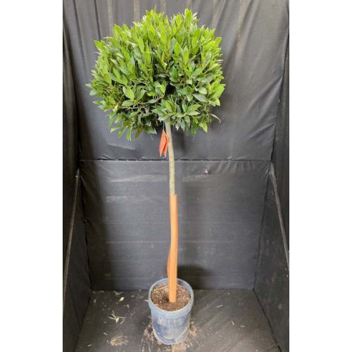 Bay Tree Laurus Nobilis Ball on Stem, Total Height 140cm / 4ft 7 inches including pot height (head dia 40 - 45cm) - SOLD OUT - TAKING ORDERS FOR JUNE