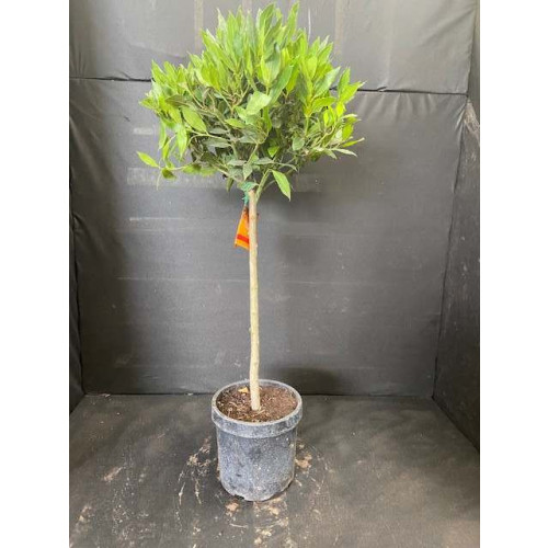 Bay Tree Laurus Nobilis Ball on Stem, Total height 95cm / 3ft including pot height (head dia 35-40cm) - SOLD OUT - TAKING ORDERS FOR JUNE