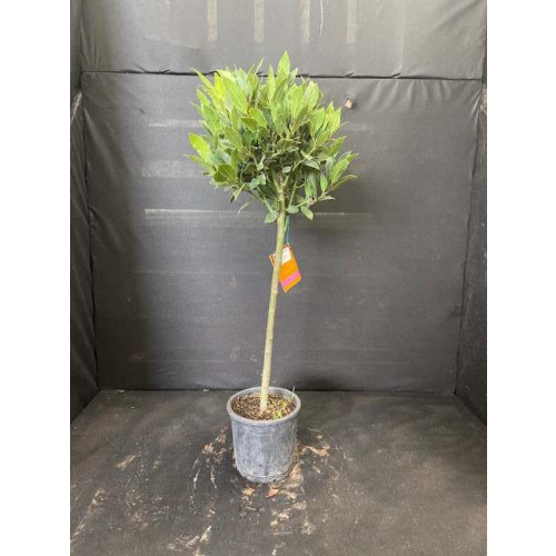 Bay Tree Laurus Nobilis Ball on Stem, Total Height 70cm / 2ft 8in including pot height (head dia 25-30cm) - SOLD OUT - TAKING ORDERS FOR JUNE