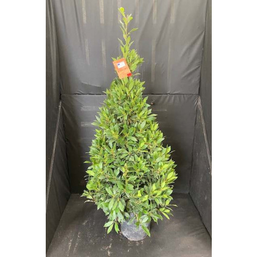 Bay Tree Laurus Nobilis Cone 150cm / 5ft including pot height - SOLD OUT - TAKING ORDERS FOR JUNE