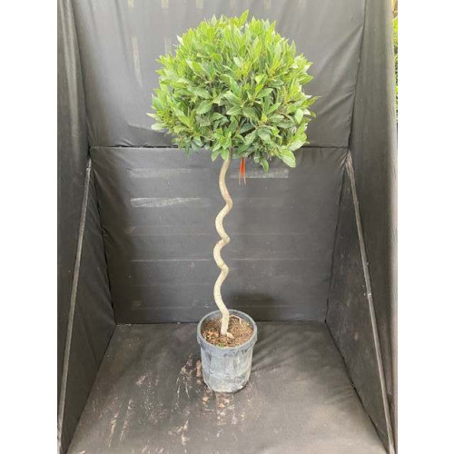 Bay Tree Laurus Nobilis Ball on Twisted stem, Total height 1.5 meters ( 5 feet) high including pot height (diameter of ball 45-50cm) - SOLD OUT - TAKING ORDERS FOR JUNE