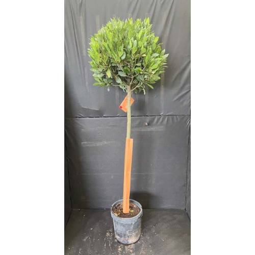 Bay Tree Laurus Nobilis Ball on Stem, Total Height 130cm / 4ft 3in including pot height (head dia 45cm-50cm head) - SOLD OUT - TAKING ORDERS FOR JUNE