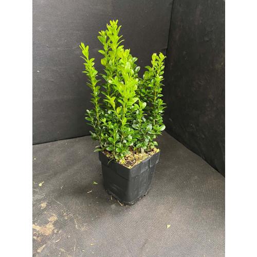 Buxus Bush 30cm plant height (not including pot)