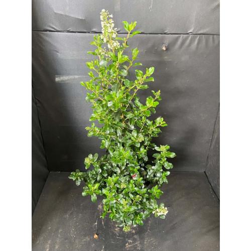 Escallonia Apple Blossom 10L