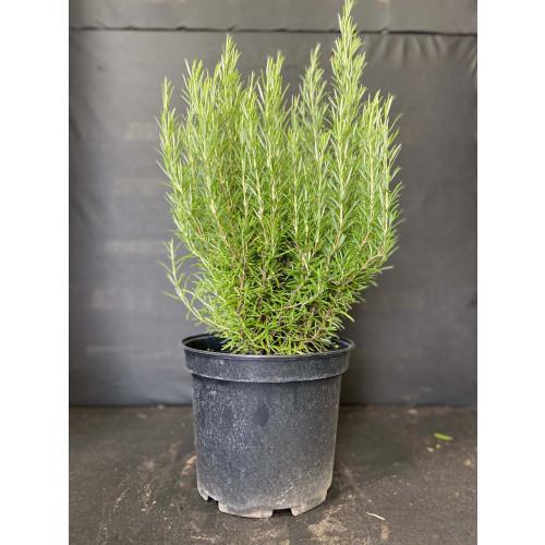 Rosemary 10L