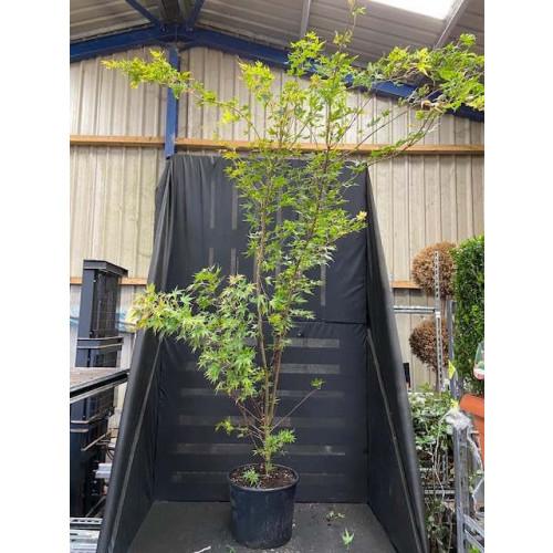 Acer sangu kaku 7ft / 210cm inc pot height