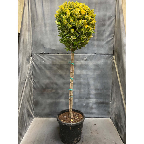 Euonymus Japonicus Aureus Ball on Stem 145cm/4ft 10in tall including height of the pot, head dia. 40/45cm