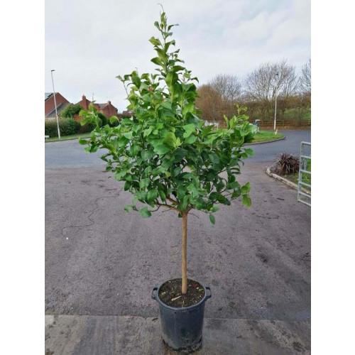 Lemon Tree 150cm / 5ft including pot height, 10/12cm girth - TAKING ORDERS FOR SUMMER