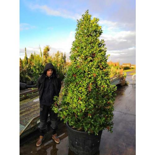 Holly (Ilex Nellie Stevens) Cone 300cm including height of the pot