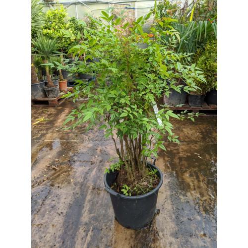 Nandina Domestica 4ft  including pot height
