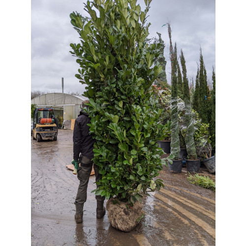 Proper Cherry Laurel Hedging Rootball 2.5-3m (8 - 9ft) - VERY LIMITED QUANTITY