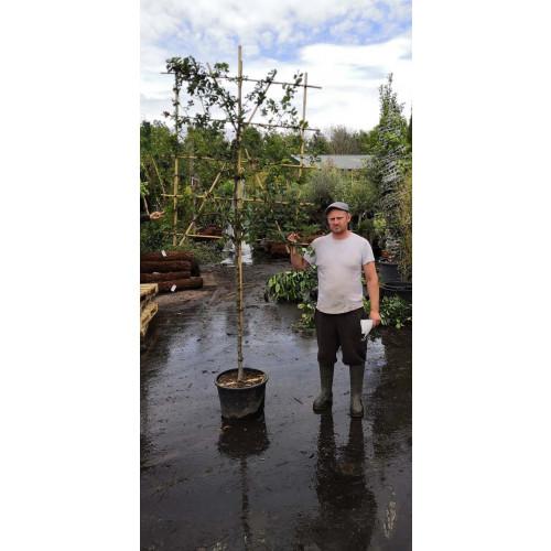 Beech  ''Fagus Sylvatica''  pleached  1.2m stem 1.5m high x 1.2m wide frame