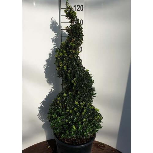 Ilex crenata 'Dark Green' Spiral 80-100cm in 18lt pot