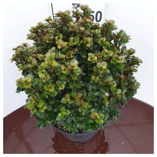 Ilex meserveae 'Little Rascal' 30-40cm in 12lt pot