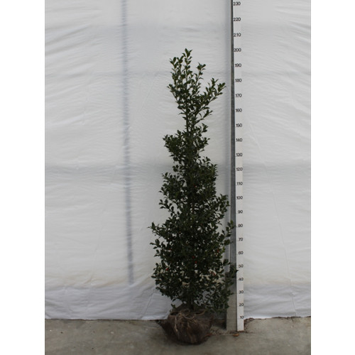 ILEX AQUIFOLIUM HOLLY 'ALASKA' ROOTBALL 150-175CM HIGH, 40-50CM WIDE - SOLD OUT - TAKING ORDERS FOR AUTUMN 2021