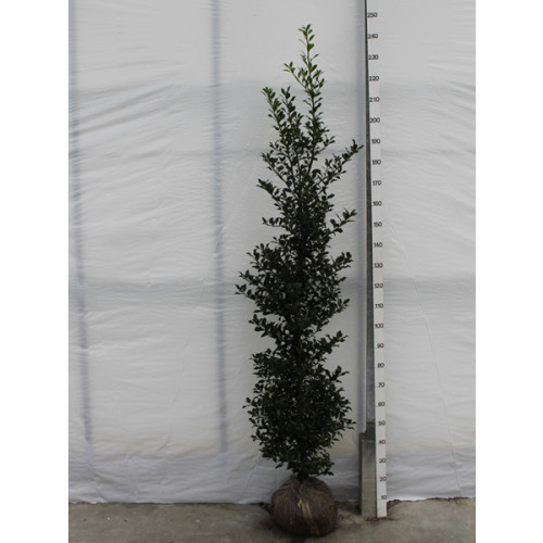 ILEX AQUIFOLIUM HOLLY 'ALASKA' ROOTBALL 200-225CM HIGH, 40-50CM WIDE