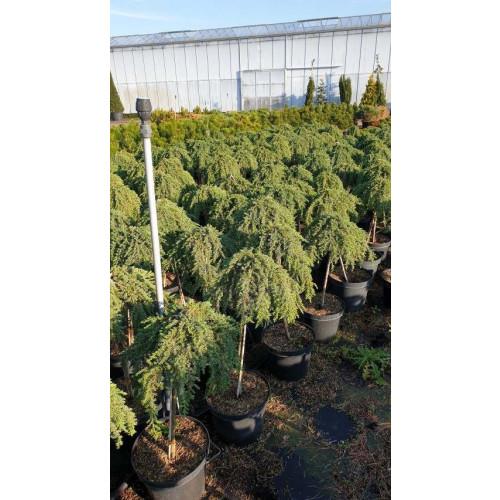 Juniperus comm. 'Greenmantle'Stam 50 cm C12