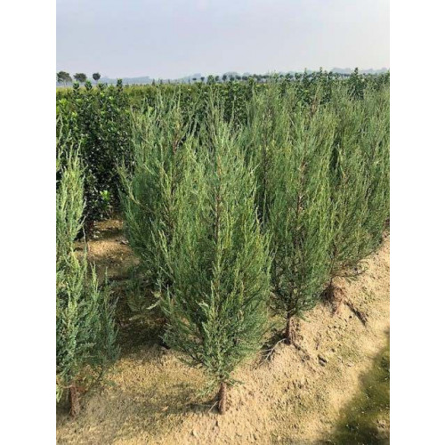 Juniperus scop. 'Blue Arrow', 80-100 cm