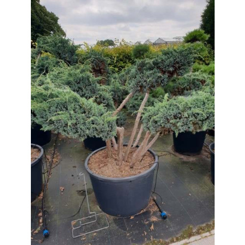 Juniperus squamata 'Meyeri' 125-150cm bonsai in 110lt pot