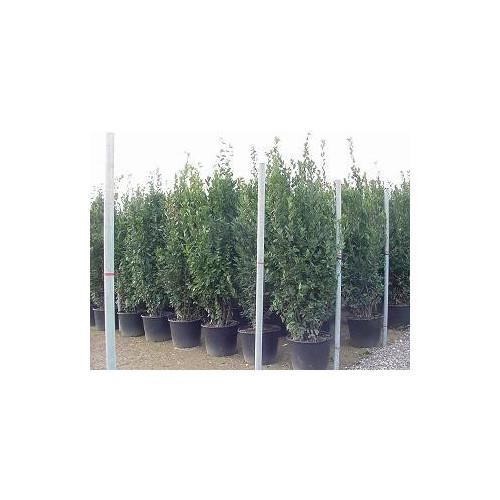 Bay Tree (bush) Laurus Nobilis massive 290 - 300cm  / 9ft 6in - 10ft including pot height