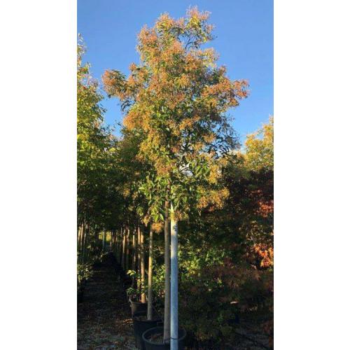 LIGUSTRUM JAPONICUM (LUCIDUM) Std. C.20/25 Clt.90/110