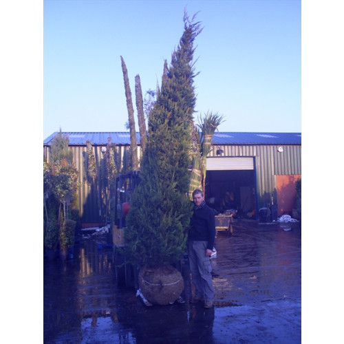 Leylandii Gold Large 450-500cm (15-16ft) plant height not including pot - AVAILABLE NOW