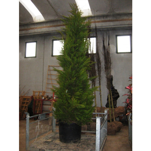 Leylandii Gold Large 12ft High Plant Height