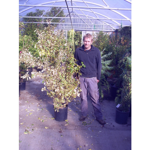 Elaeagnus Limelight 200cm / 6ft 6in 50lt pot