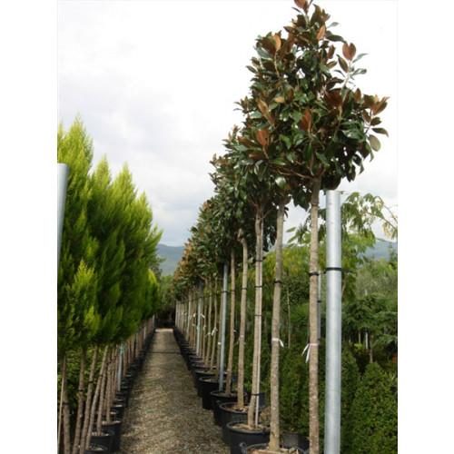 Magnolia Grandiflora Gallisoniensis std 11ft.6''-13ft including pot height 2 meter stem 18/20cm girth 70-80cm head