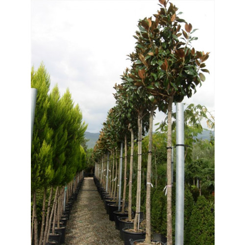 Magnolia Grandiflora Gallisoniensis std 11ft.6''-13ft including pot height 180-200cm stem 18/20cm girth 70-80cm head